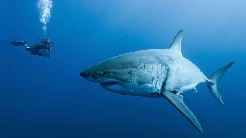 Requin - 2