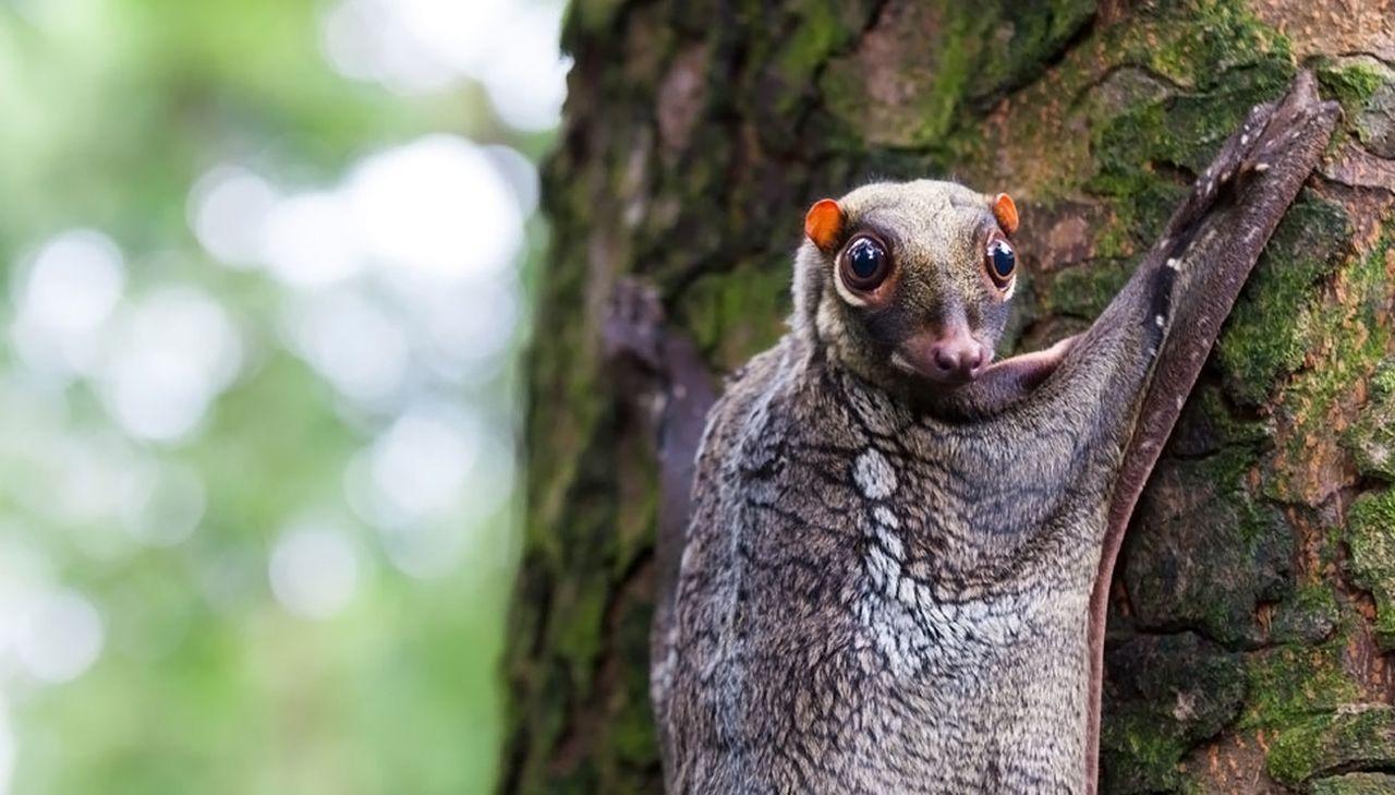 Les colugos, des mammifères volants atypiques [Vidéos]