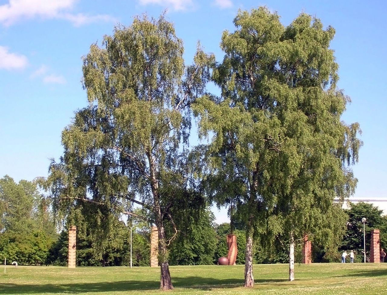 Arbres - Betula pendula
